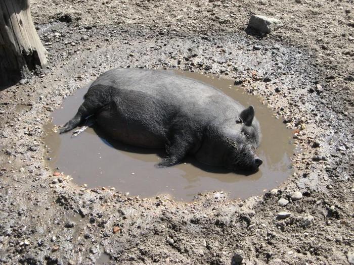 фото свинья в луже
