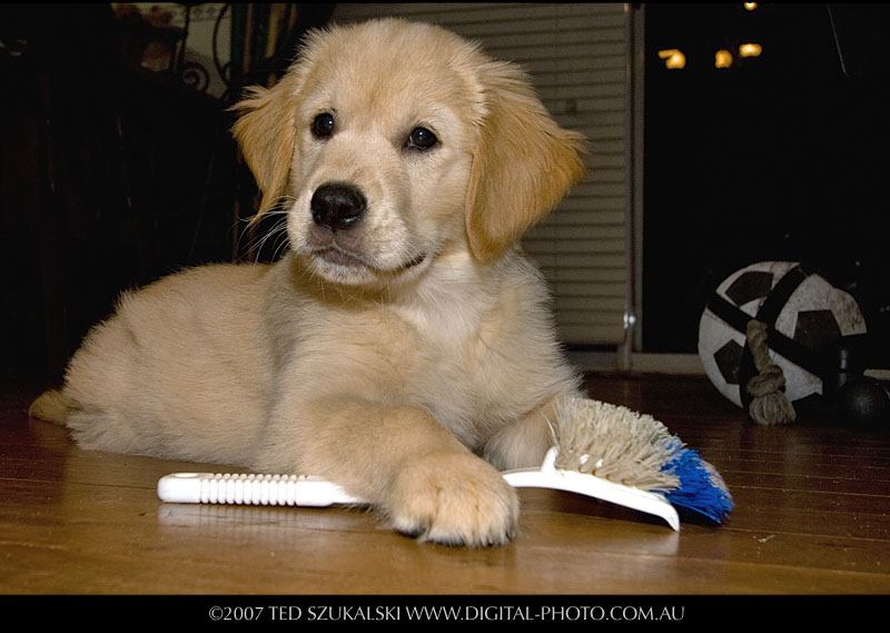 golden retriever puppy cut. cute golden retriever puppies