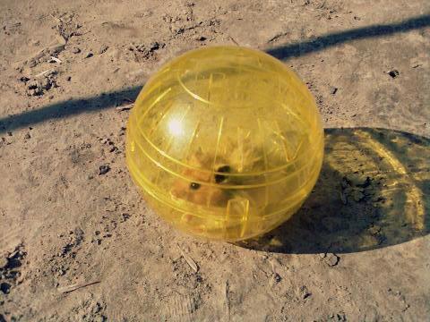 Как сделать хомяку шар